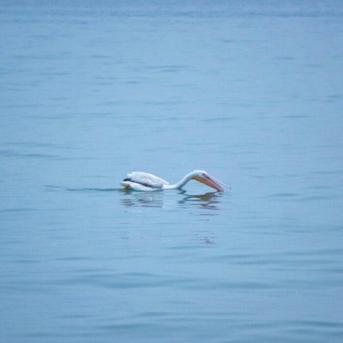 Pelican in Lake Michigan